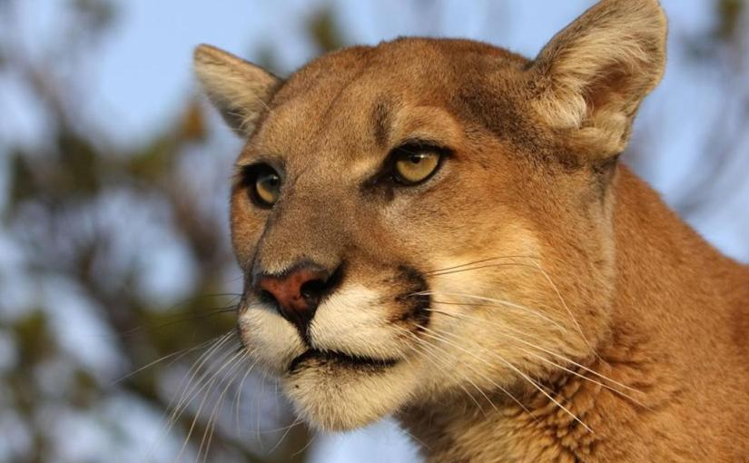 Mountain Lion Medicine